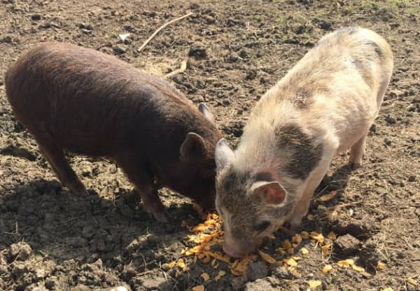 Micro Pigs For Sale