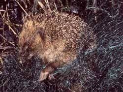 hedgehog trapped in netting